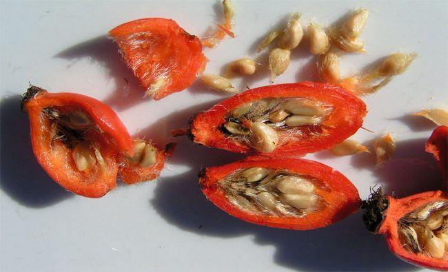 rosh hanches semences