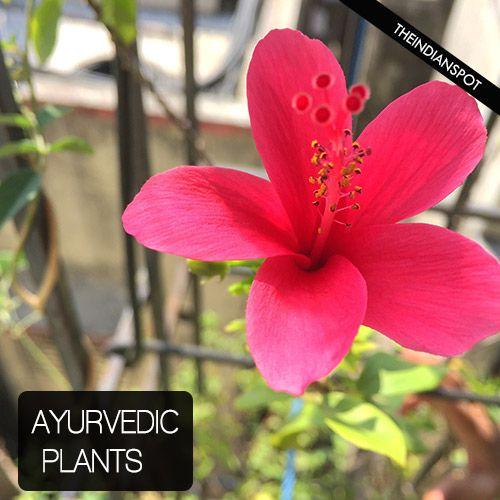 Fotografía - Les plantes et les herbes ayurvédiques importants