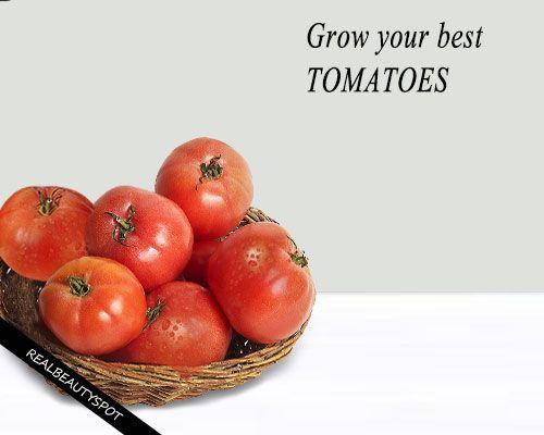 Fotografía - Secrets de la culture des tomates charnues sains