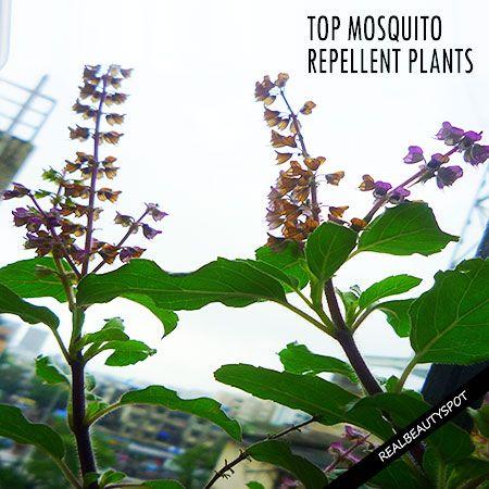 Fotografía - Plantes répulsives Haut de moustiques